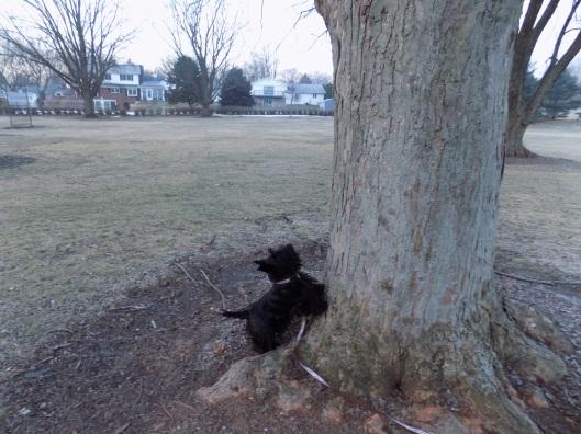 squirrel up tree 2-6-2016 7-05-56 AM