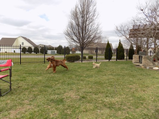 george and irish setters 3-19-2016 11-07-09 AM