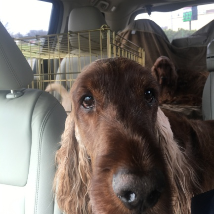 irish setters in car going home 3-20-2016 10-38-33 AM